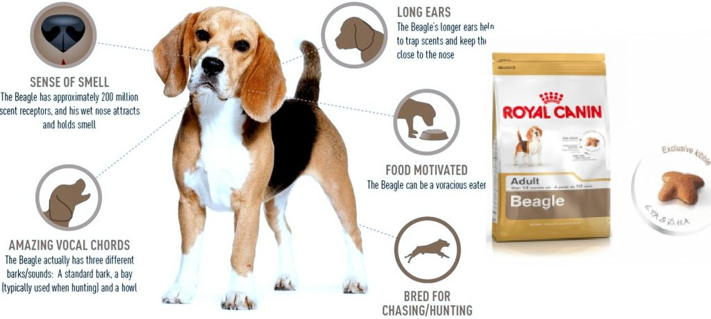 royal canin beagle adult benefits